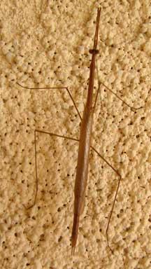 Grass_mantis