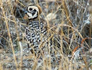 Montezuma quail by Joe Grossinger via flickr