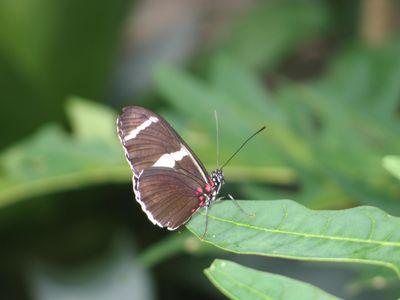 Butterflies, menil 409 006