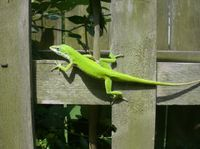 Beneficial-19a-GCMGA21116_green_anole_small