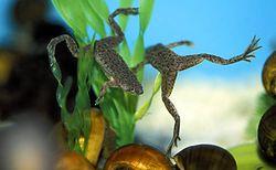 Dwarffrog