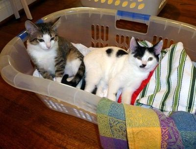 Royal kittens 910